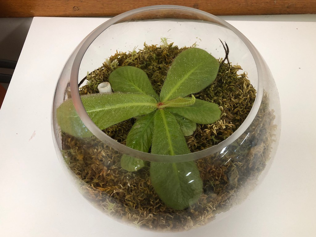 Drosera schizandra grown by AUSCPS Canberra coordinator Barry Bradshaw