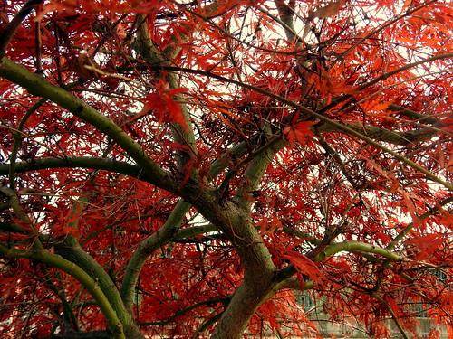 Cavenago di Brianza - Albero rosso