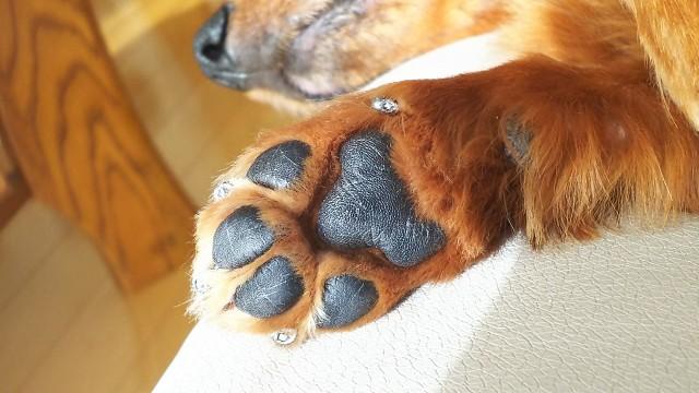 靴で保護されてきれいな犬の肉球