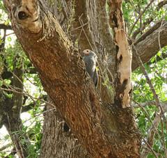 gymnogene3; s luangwa national park