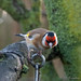 Goldfinch_C270068