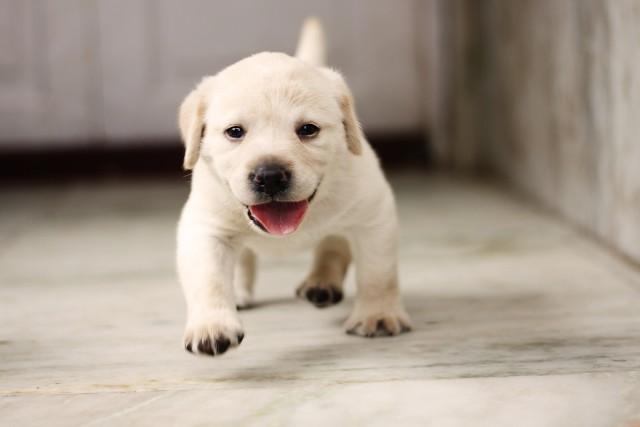 お迎えの日を待つ子犬