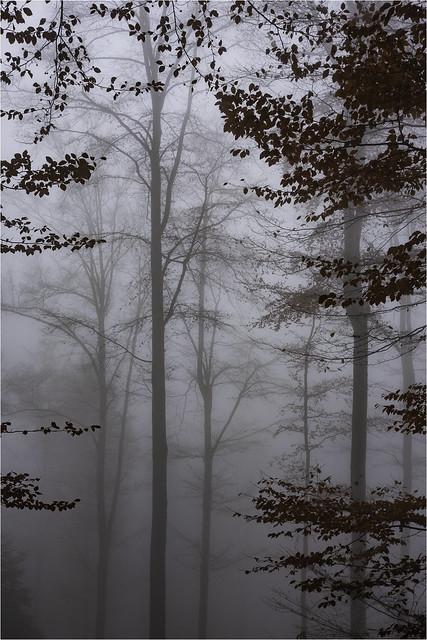 beeches in the fog, Fujifilm X-E2, XF27mmF2.8