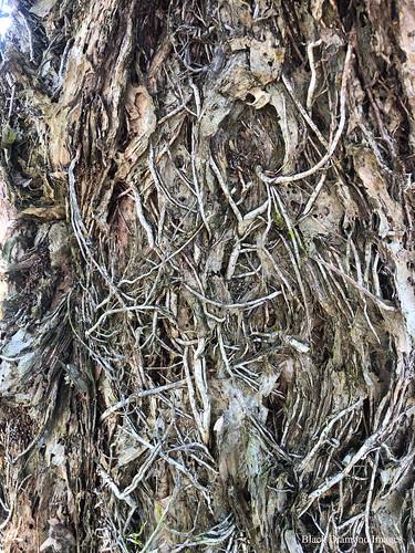 Melaleuca linariifolia - Snow-in-summer, Narrow-leaved Paperbark