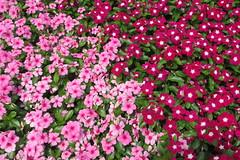 Corona Park Flowers