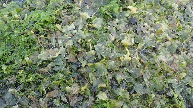 Bleaching Spoon seagrass (Halophila ovalis)