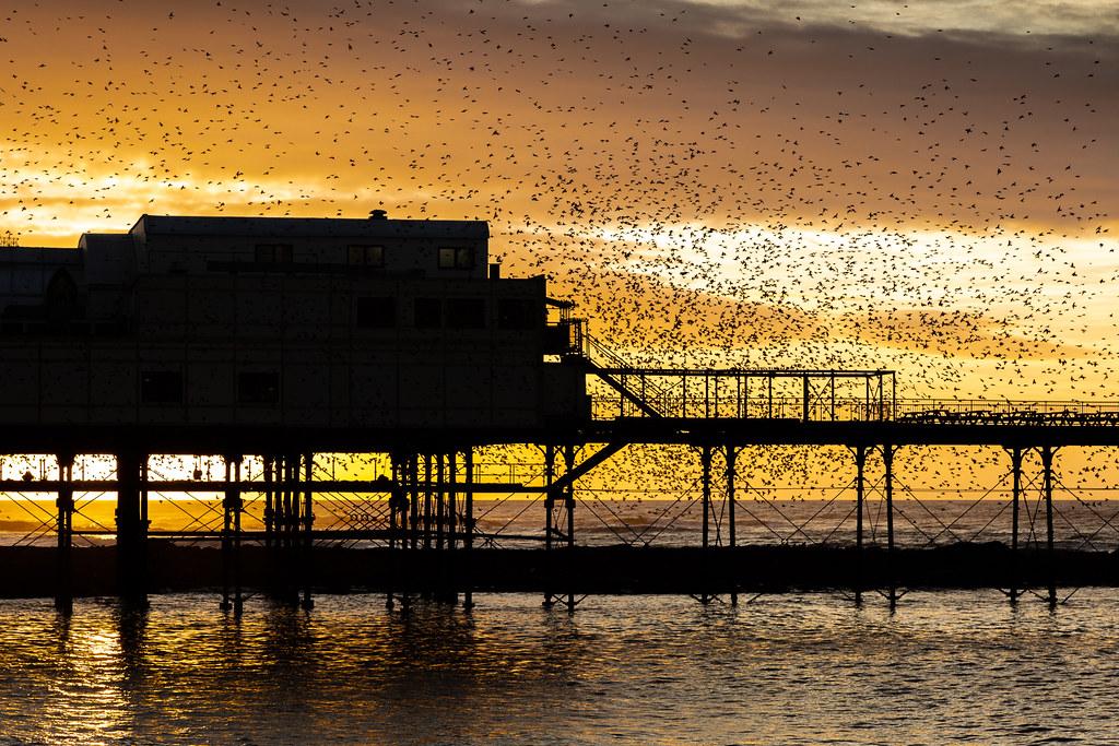 Aberystwyth starlings 2018 (1) (Explore)