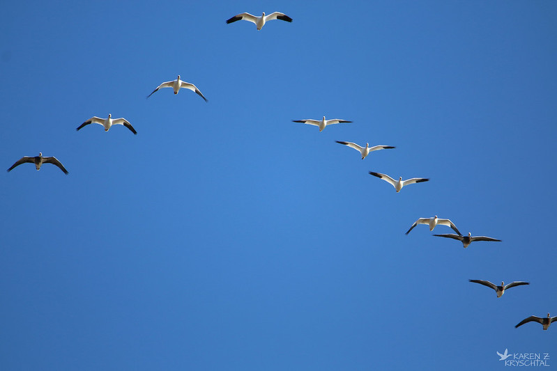 IMG_8093SnowGeese