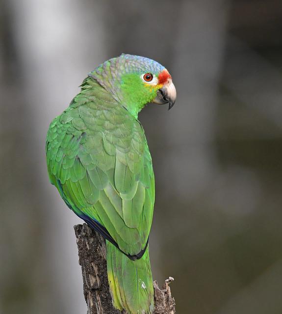 Red-lored Parrot, Nikon D500, Sigma Macro 50mm F2.8 EX DG