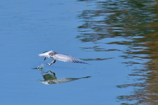 クロハラアジサシの漁