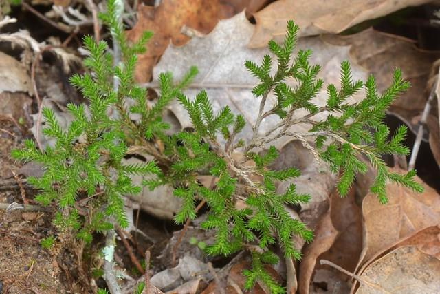 Bigelow's Spike-Moss (Selaginella bigelovii), a fern ally