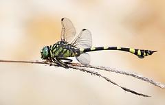 Australian Tiger Dragonfly 011