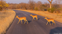 Impala crossing - Kruger, South Africa