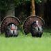Turkeys by ruthpphoto