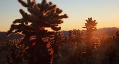 Cholla Cactus Garden at dawn