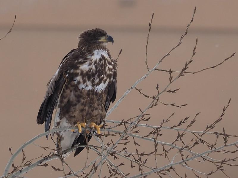 札幌市豊平川河川敷のドロノキに留まるオジロワシ幼鳥