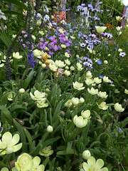 Platystemon californicus, Gila tricolor,  Malcomia maritima & Veronica longifolia