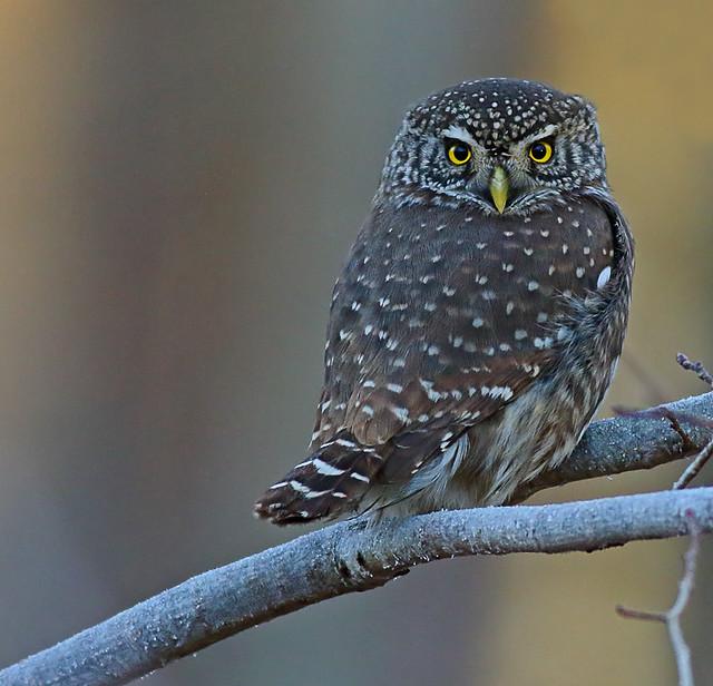 Pygmy Owl, Canon EOS 7D MARK II, EF400mm f/5.6L USM