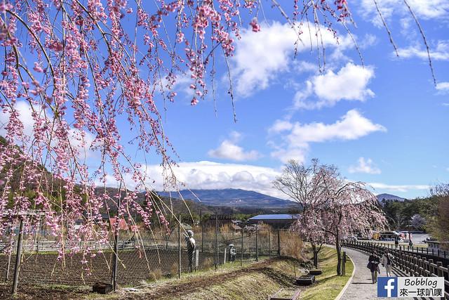 西湖療癒之鄉根場櫻花-12