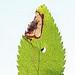 Stigmella plagicolella, Carlingnose Point, Fife, Scotland