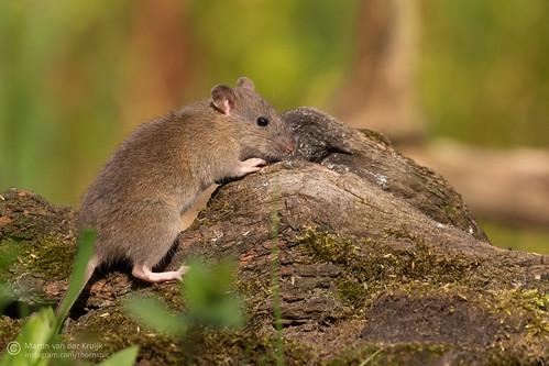 Brown Rat - Bruine Rat