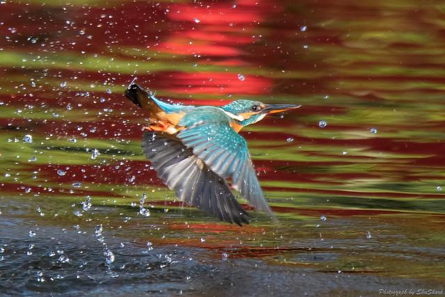 20181124-kingfisher-DSC_9802