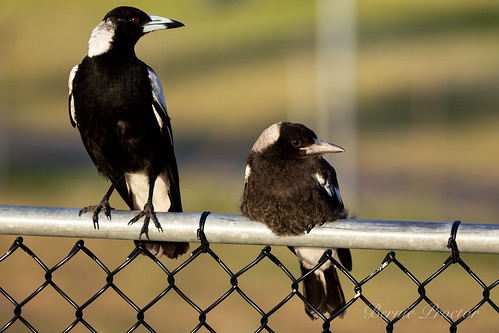 Magpies Mother and Chick-0504 | by A u s s i e P o m m