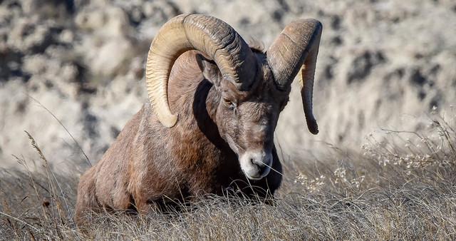 Bighorn Sheep -- male (ram)