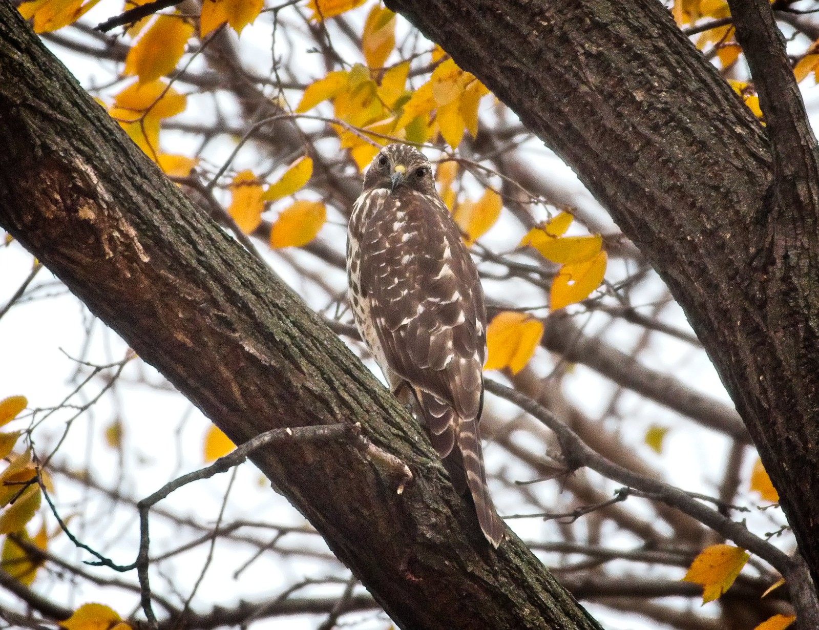 Red-shouldered hawk checks me out