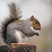 Grey Squirrel gone nuts !