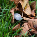 Japanese umbrella mushroom, under fallen leaves