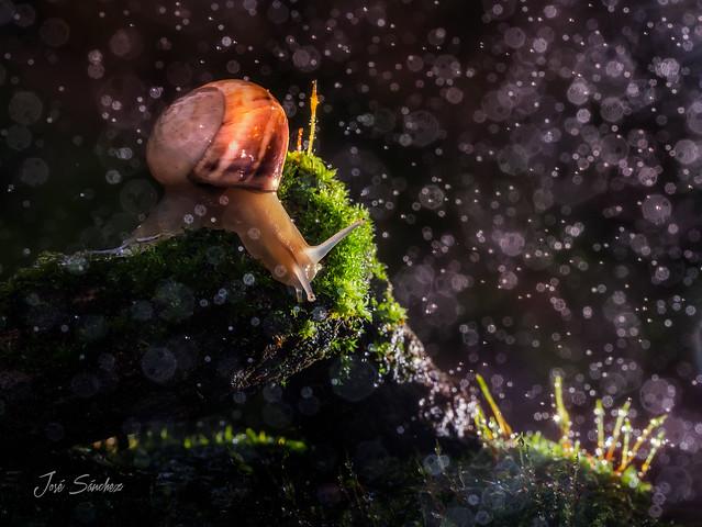 Snail under the rain