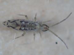 Entomobrya intermedia