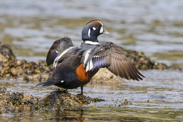Harlequin Duck / Arlequin plongeur