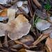 Autumn fungi: clitocybe species