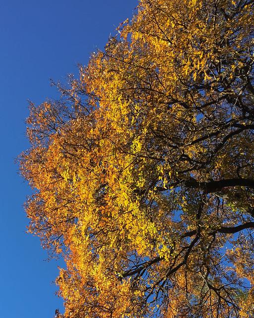 Cedar Elm Fall Color