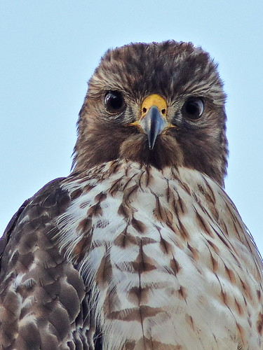 Red-shouldered Hawk immature HDR 01-20181220
