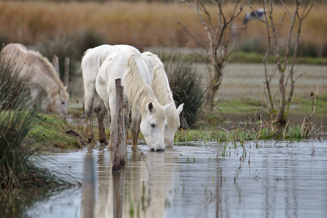 Cheval Camargue France