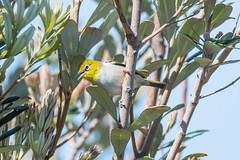 Silvereye or wax-eye bird