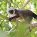 DSC00558 White-Fronted Brown Lemur, Eulemur albifrons (?) by jwsteffelaar