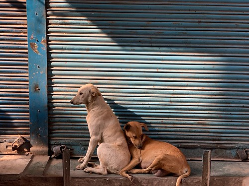 City Life - Two Dogs in Love, Pahari Imli