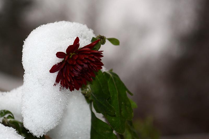 цветы в снегу 22