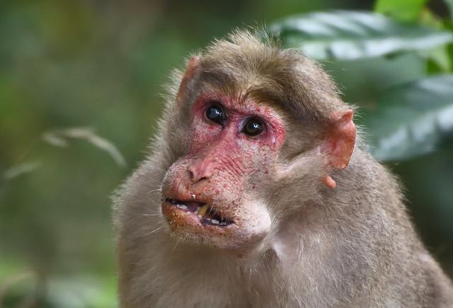 Bonnet macaque, Nikon D5600, AF-S Nikkor 200-500mm f/5.6E ED VR