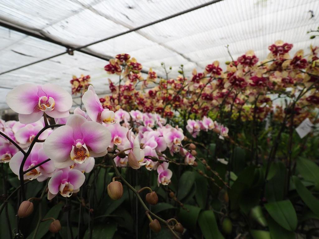 山上蘭科植物園 (19)