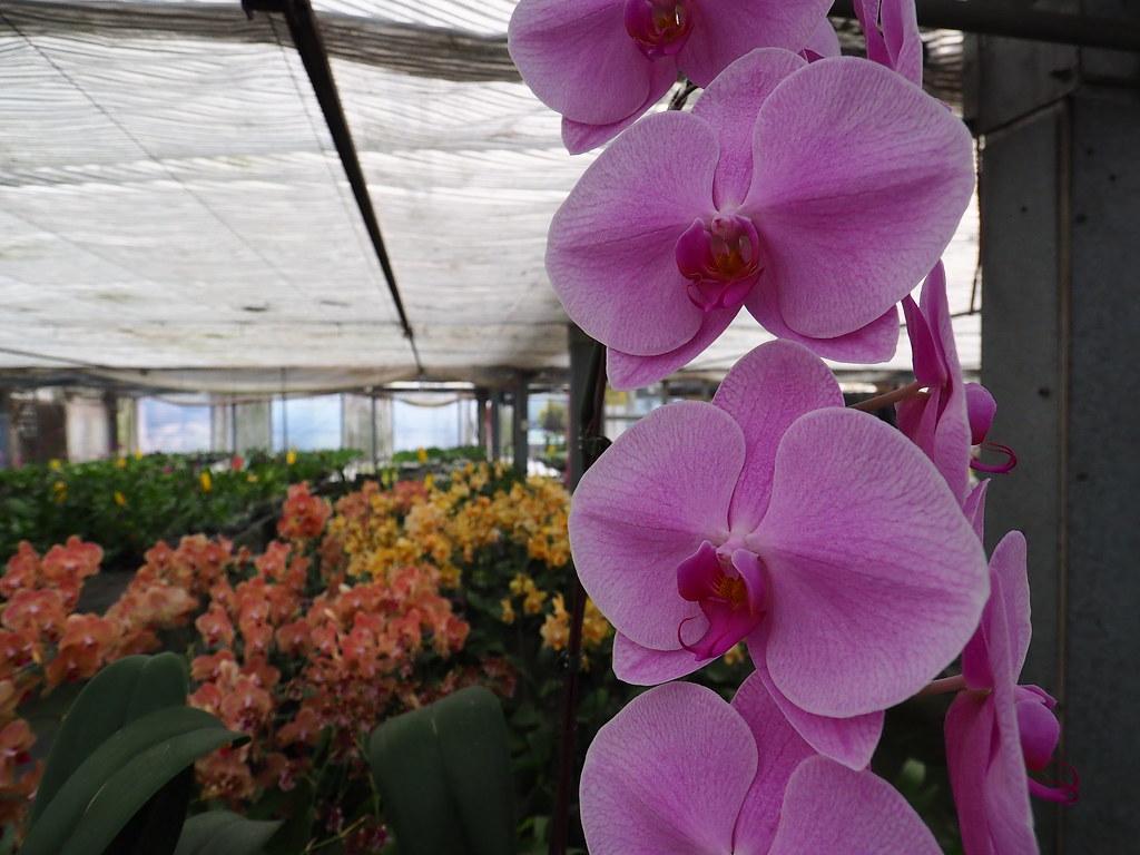 山上蘭科植物園 (17)