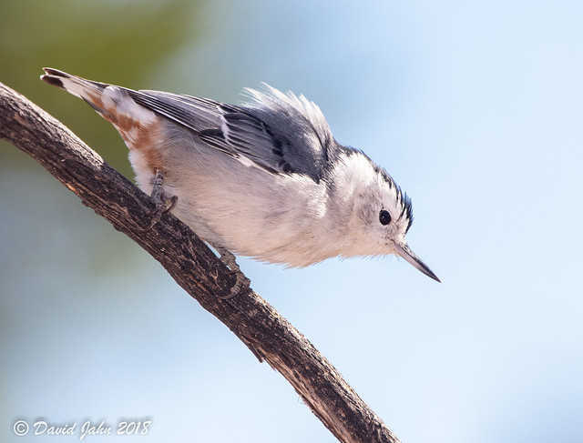 Pacific White-breasted Nuthatch (Sitta carolinensis)