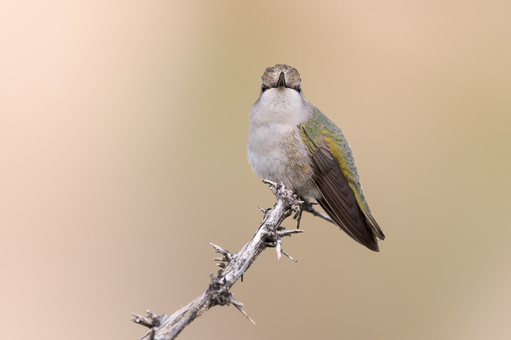 A female Costa's hummingbird perches on a tree branch along the Marcus Landslide Trail in McDowell Sonoran Preserve in Scottsdale, Arizona