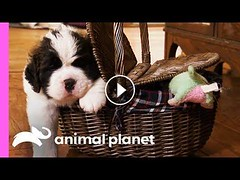 St. Bernard Puppies Pile On The Pounds In Their First Few Weeks Of Life! | Too Cute!https://t.co/foNAlSvw54 These St Bernard puppies are piling on the pounds, when they're born they already weigh a hefty 4lb! They eventually get big enough to have th… htt