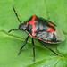 Twice-stabbed Stink Bug - Cosmopepla lintneriana (Pentatomidae, Pentatominae) 118z-6133949