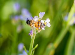 Honey Bee pollinating the wildflowers